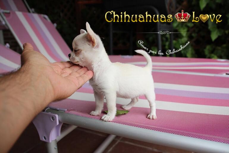blog-de-chihuahuas