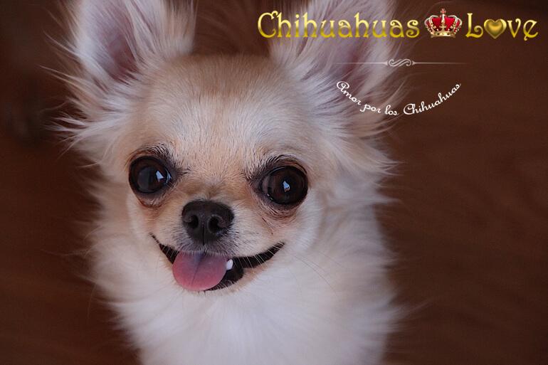 chihuahuas-y-alta-moda-canina