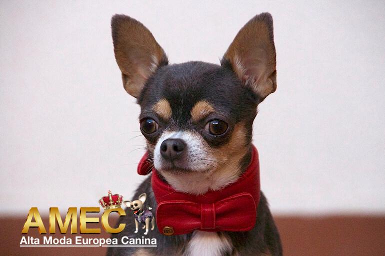 comprar-collar-perro-chihuahua